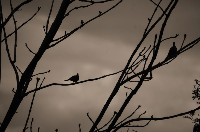 Low angle view of silhouette birds perching on bare tree