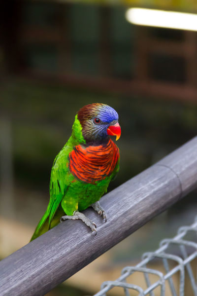Animal Themes Animal Wildlife Animals In The Wild Beauty In Nature Bird Close-up Day Focus On Foreground Multi Colored Nature No People One Animal Outdoors Parrot Perching Rainbow Lorikeet Wood - Material
