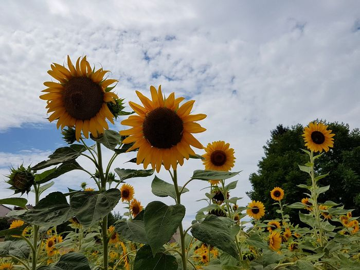 Flower Growth Sunflower Flower Head Nature Botany Sky Beauty In Nature Cloud - Sky Plant Day Blossom Outdoors Petal Fragility No People Horticulture Freshness Tree Thistle Sunflowers Rural Scene Uncultivated Tranquility