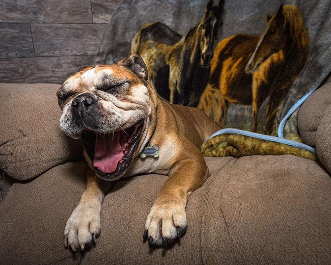 One Animal Mammal Animal Themes Pets Dog No People Domestic Animals Sand Sticking Out Tongue Day Protruding Outdoors Nature Close-up Bulldogs Bulldog Yuma Yumaaz Arizona Highways Real Estate Pet Portraits