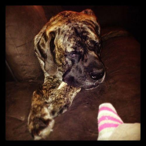 Puppy Antler Mastiff Teething