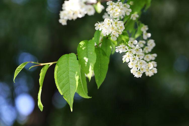 멀리서보고 아카시아인줄 알았던 - 귀룽나무 . . #하루한컷 #귀룽나무 #남한산성 #5DMARK4 #백마엘 #EF100MMF28LMACROISUSM Flower Leaf Multi Colored Close-up Plant Green Color