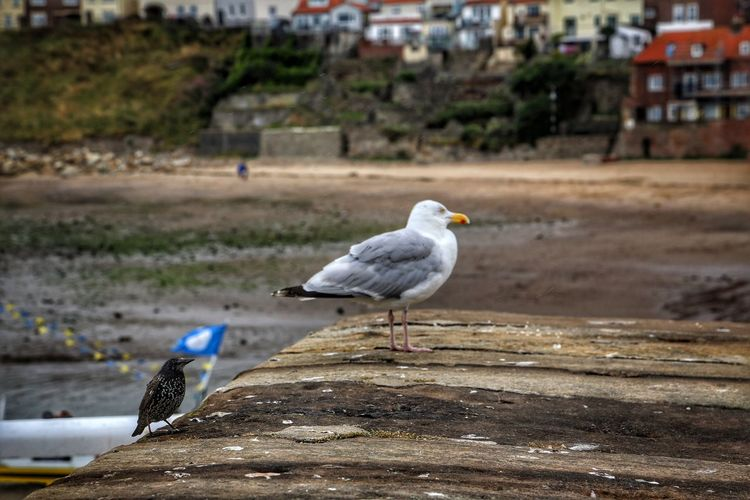 Whitby Whitby Whitby Abbey Bird Animals In The Wild Animal Themes Vertebrate Animal Animal Wildlife Focus On Foreground Day Architecture Perching Group Of Animals Nature Seagull Built Structure Building Exterior No People Water Outdoors Land