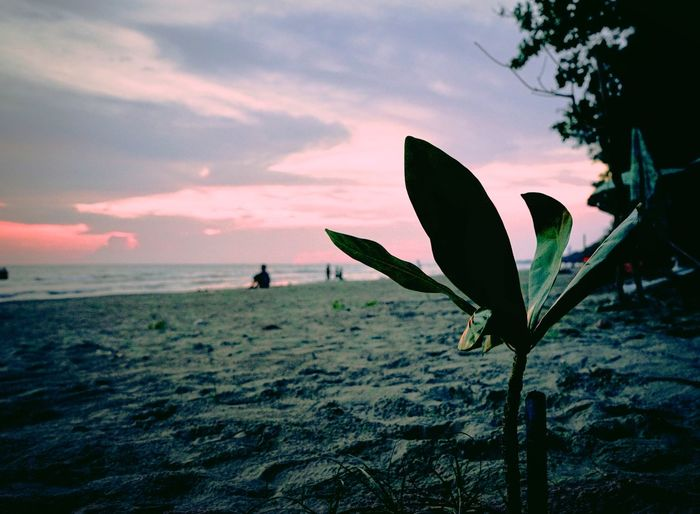 Close-up of silhouette plant on beach against sky during sunset