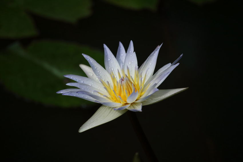 Timeless beauty!😊 Flower Water Lily Nature Beauty In Nature Close-up Plant Water Single Flower Waterlilypond Waterlilyphotography Fine Art Still Life Lotus Water Lily in Georgia USA