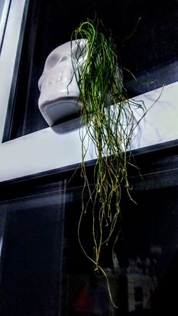 Skull, Plant, Grass, Death Grass Skull Plant Misfits Metal Rock Close-up Indoors  No People Low Angle View