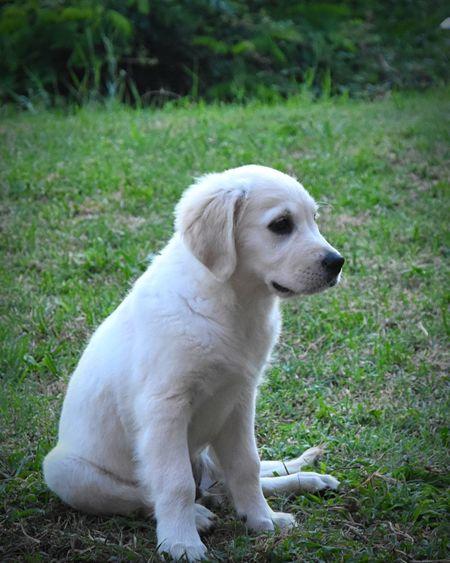 White dog sitting on field