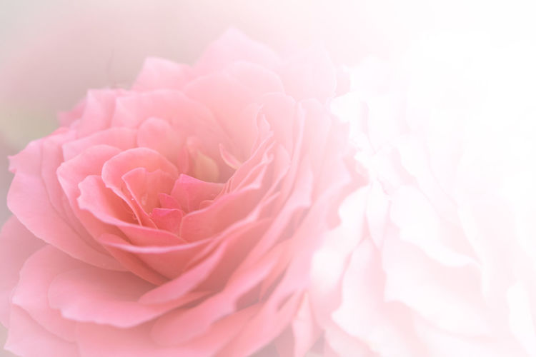 sweet of focus petal soft rose flower for background Flower Pink Color Flowering Plant Beauty In Nature Plant Petal Vulnerability  Freshness Fragility Rosé Close-up Inflorescence Flower Head Rose - Flower Nature No People Backgrounds Softness Full Frame Outdoors Bouquet Flower Arrangement