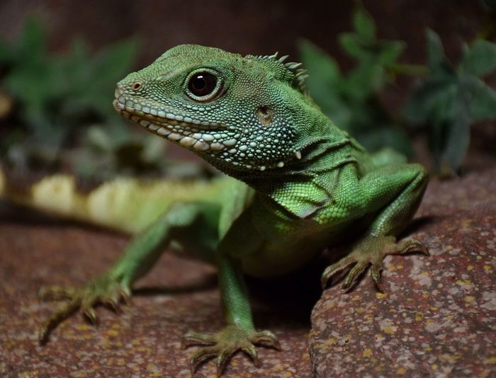 top model Reptile Animal Wildlife Lizard Animals In The Wild One Animal Iguana Close-up No People Animal Themes Day Chameleon Nature Portrait