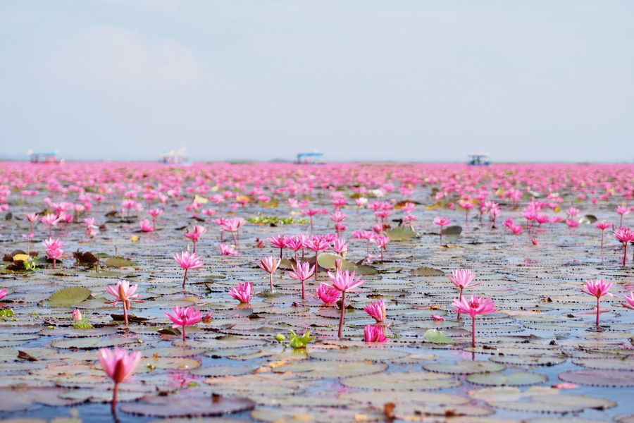 Beauty In Nature Flower Lotus Lotus Flower Nature No People Outdoors Pink Color Pink Lotus Red Lotus Lake