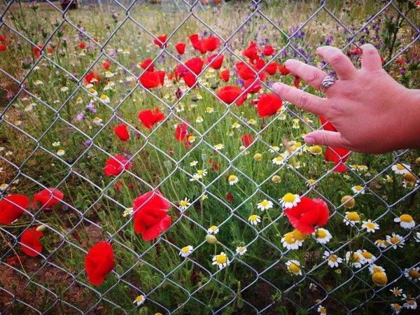 Human Hand Human Body Part Red One Person Springtime Real People Poppy Freshness Contrast Poppy Flowers Metallic Fence Body Part Locked Security Safety Hand Private Nature Flower People Grass Freshness Close-up Adult Adults Only