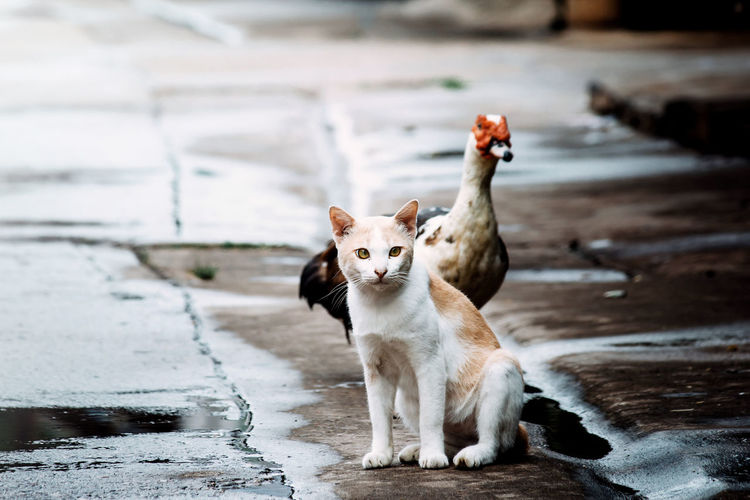 Portrait Of Cat Sitting By Duck On Wet Footpath