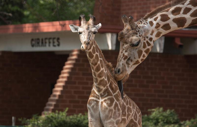 Giraffe Animal Mother Animal Themes Animal Wildlife Giraffe Licking Looking At Camera No People Zoology