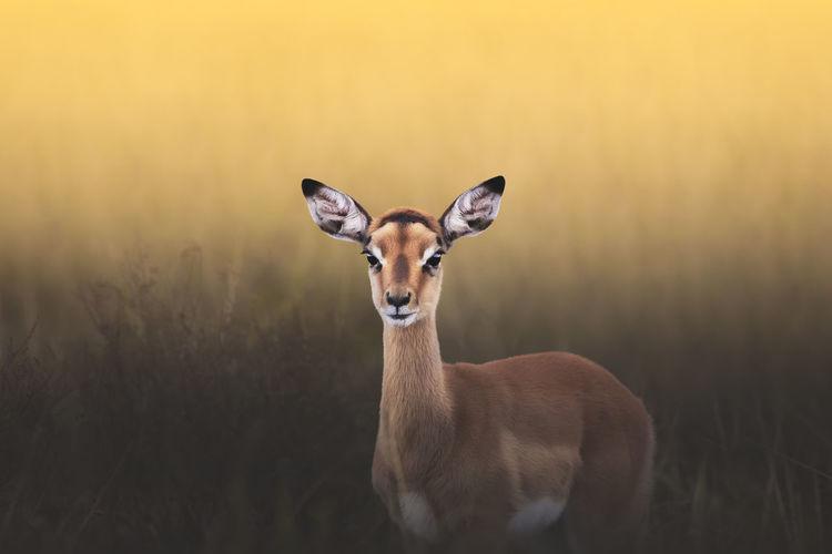 Portrait of an impala standing on field