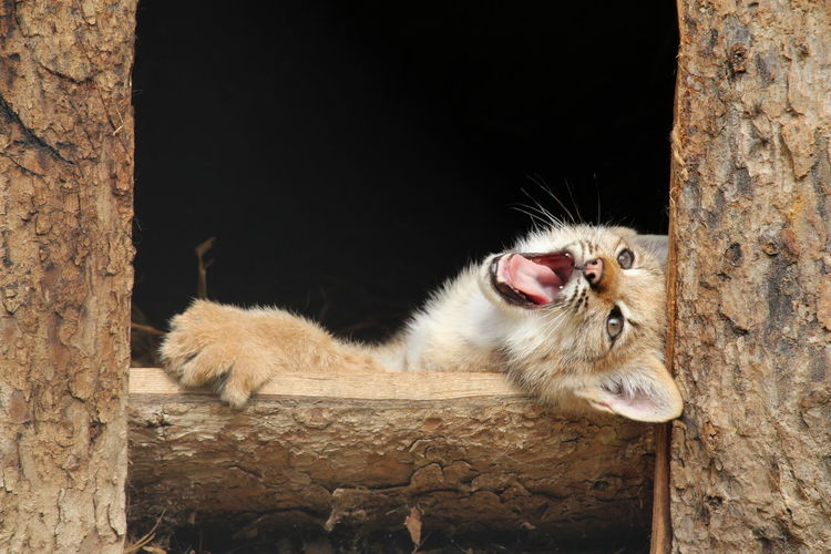 Baby Canada lynx learn to be wild Cute Pets Cute Pet Baby Lynx Lynx Canada Lynx Wildlife Beauty Of Nature Joy Of Life Happiness Pets Portrait Animal Themes Close-up Feline
