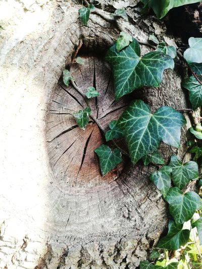 Knotted Wood Ivy Bark Cracks Natural Cracks Faerie Door Fairy Door Leaf No People Plant Day Nature Outdoors Backgrounds Green Color Full Frame Close-up