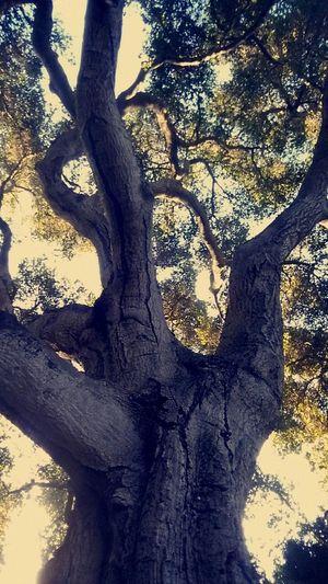 Mighty Oaks Oak Trees Carmel Valley Abstract Trees Tree Branches