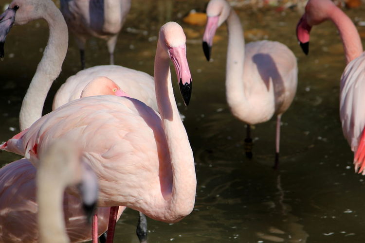 Bird Animal Themes Animal Animals In The Wild Vertebrate Group Of Animals Animal Wildlife Flamingo Water Lake Pink Color Day Beak No People Nature Three Animals Focus On Foreground Beauty In Nature Animal Neck Freshwater Bird Drinking