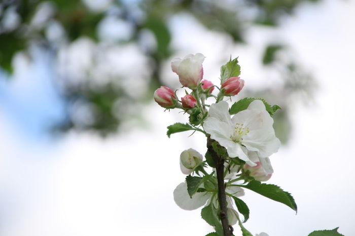 EyeEm Selects Flower Head Flower Tree Branch Leaf Springtime Defocused Horticulture Summer Close-up Apple Blossom Twig Stamen Hibiscus Botany Apple Tree Fruit Tree Blossom In Bloom Flowering Plant Pistil