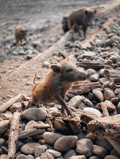 Wild boars on land