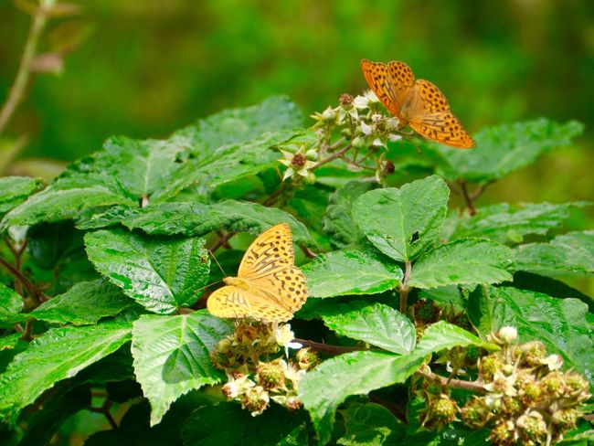 Zwei Kaisermantel auf Brombeeren Argynnis Paphia Nymphalidae Butterfly Insects  Summertime Beauty In Nature Plant Blackberry Tadaa Community