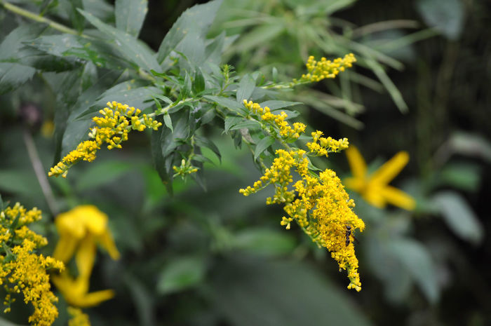 Yellow Goldenrod Flowers Beauty In Nature Blooming Close-up Flower Flower Head Fragility Freshness Golden Rod Goldenrod Growth Leaf Nature No People Outdoors Plant Yellow