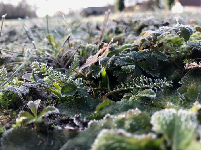 Frozen ground Selective Focus Frozen Hoarfrost Plant Growth Selective Focus Nature Beauty In Nature Day No People Close-up Cold Temperature Green Color Winter Land Leaf Frozen Plant Part Tranquility Snow Field Outdoors Ice
