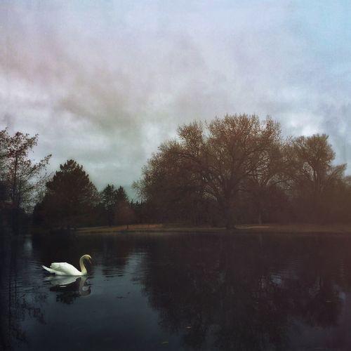 Swan at