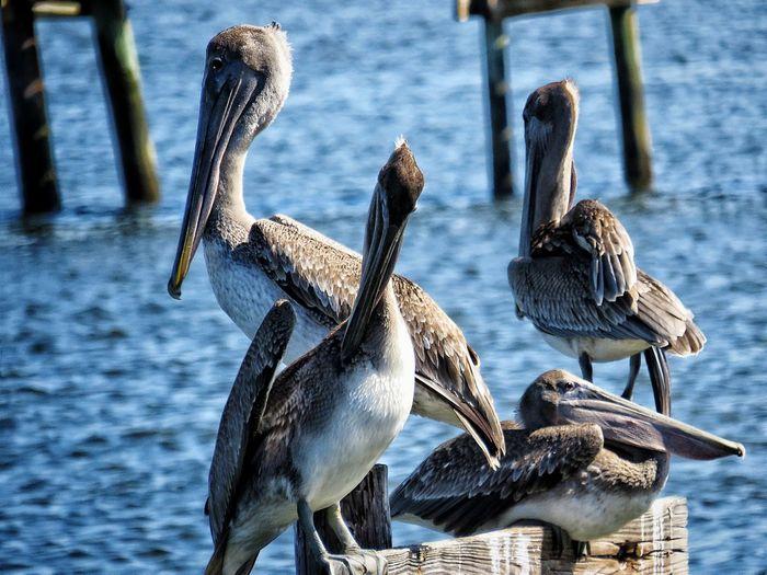 Pelican friends Water Birds Close-up Nature Large Group Of Animals Sunlight Outdoors Migratory Birds Preening Bird Water Lake Pelican Spread Wings Water Bird
