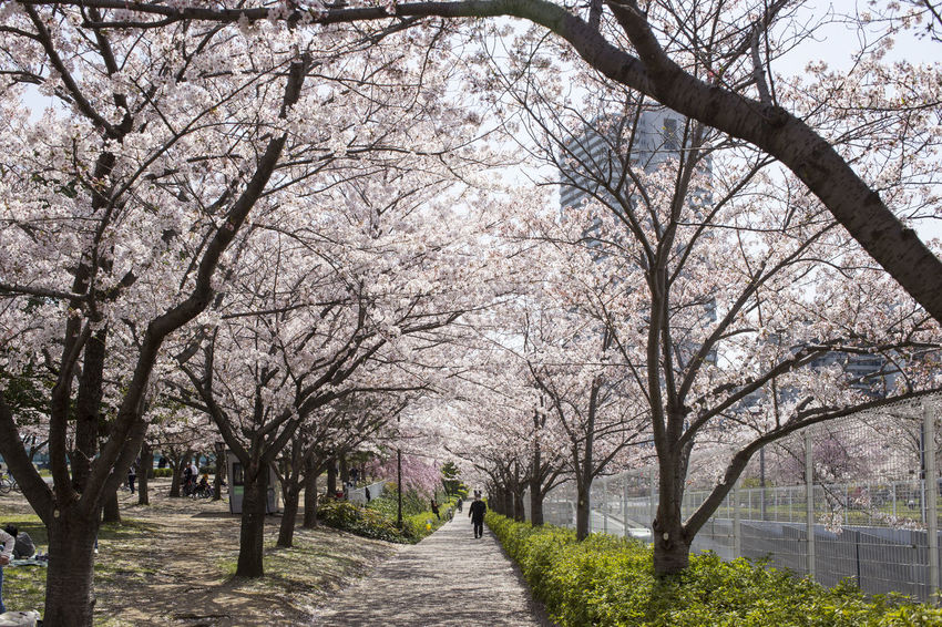 Bare Tree Beauty In Nature Blossom Branch Cherry Blossom Cherry Tree Day Diminishing Perspective Direction Flower Flowering Plant Footpath Growth Incidental People Nature Outdoors Park Park - Man Made Space Plant Springtime The Way Forward Tree Tree Canopy  Treelined
