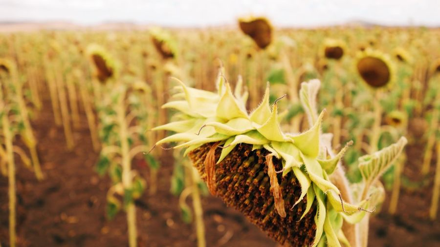 Outback Farm Australia Drought Queensland Sunflower Summer Yellow Growth Plant Focus On Foreground Nature Close-up Beauty In Nature No People Outdoors Environment Landscape Sunflower Green Color Flower Field Land Day Selective Focus Tranquility Succulent Plant Cactus