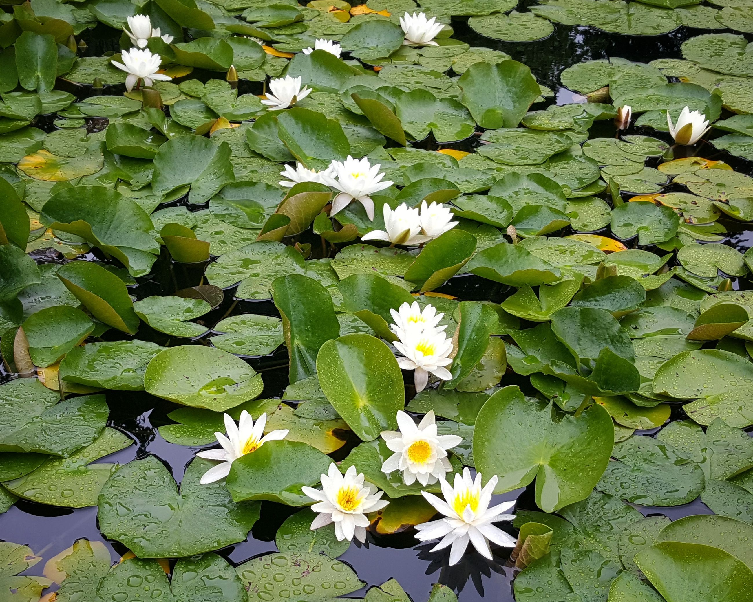 flower, leaf, growth, petal, beauty in nature, nature, freshness, fragility, flower head, water lily, plant, green color, day, no people, outdoors, lily pad, blooming, floating on water, lotus water lily, close-up, water