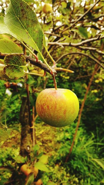 We have here, the small and the tasty apple to be eaten Agriculture Fruit Tree Freshness Growth Branch Close-up Healthy Eating Nature Leaf Food And Drink Healthy Lifestyle No People Outdoors Food Day Tree Area