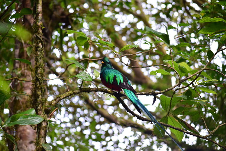 quetzal Nature Leaf Animal Bird Tree Outdoors Forest Jungle Plant Rainforest Costa Rica Branch Environment Beauty In Nature No People EyeEm Nature Lover EyeEm Gallery Perching Animals In The Wild Quetzal Monteverde Green Color Animal Wildlife Animal Themes One Animal Growth Turquoise Colored Vertebrate Low Angle View Plant Part Monte Verde