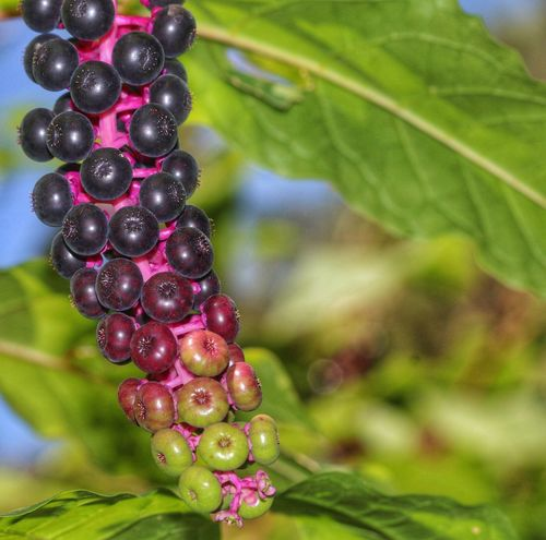 Berries Poke Sallet Do Not Eat Poisonous Pokeweed Phytolacca Americana Plant Growth Leaf Fruit Plant Part Freshness Beauty In Nature Purple