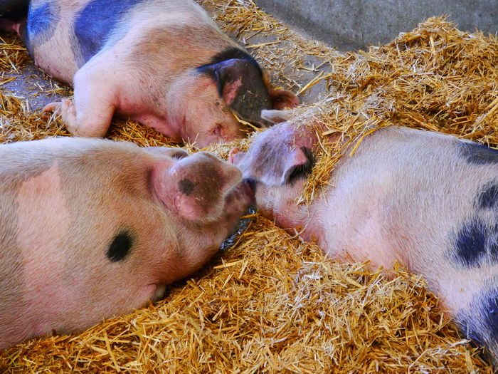 Animal Themes Cambridge, United Kingdom Day Hay Livestock Lying Down Mammal National Trust National Trust 🇬🇧 Nature No People Pig Piglet Wimpole Hall,