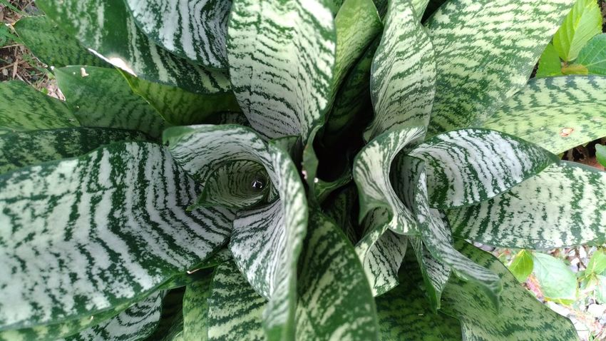 Green Foliage Plant Motherinlawtongue Outdoors Leaf