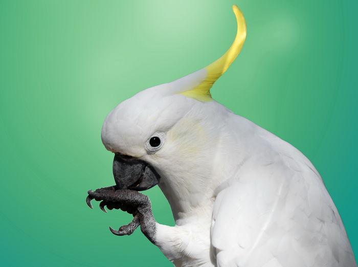 Close-up of cockatoo
