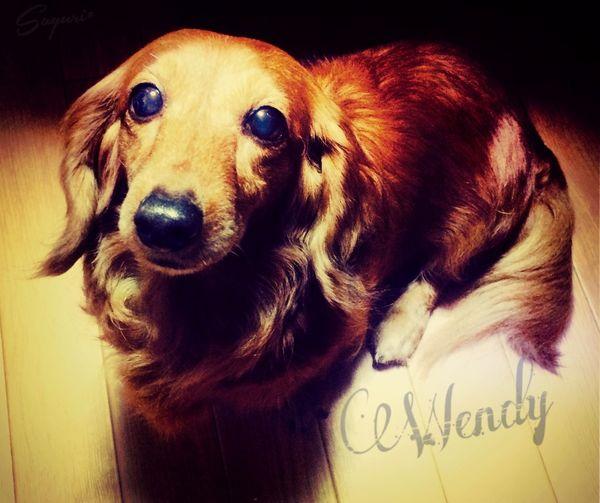 hi!! Cute Photography Japan Photography New Dachshund Dog Mypet
