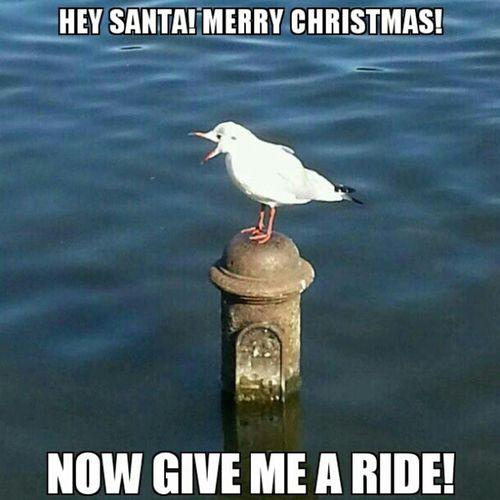Bon Nadal! Merry Christmas! ¡Feliz Navidad! Shoutingbird Bird Cute Nature instagood cool photo seagull meme funny haha lol lmfao instafunny lmao instagram laugh ifunny animal reddit instahappy humor wacky funnypictures instafun joke jokes xmas merrychristmas merryxmas