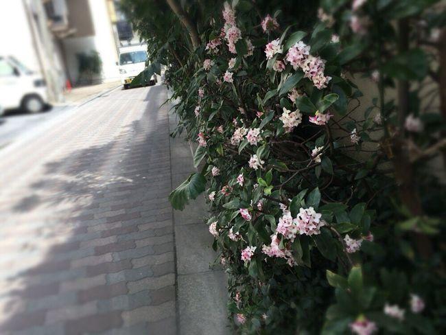 Daphne Odora Winter Daphne Goncyouge Kyoto,japan Kyoto Spling Flower Kyoto Street