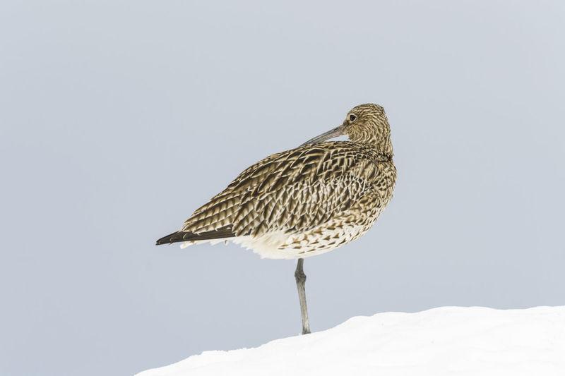 Bird perching on snow against clear sky