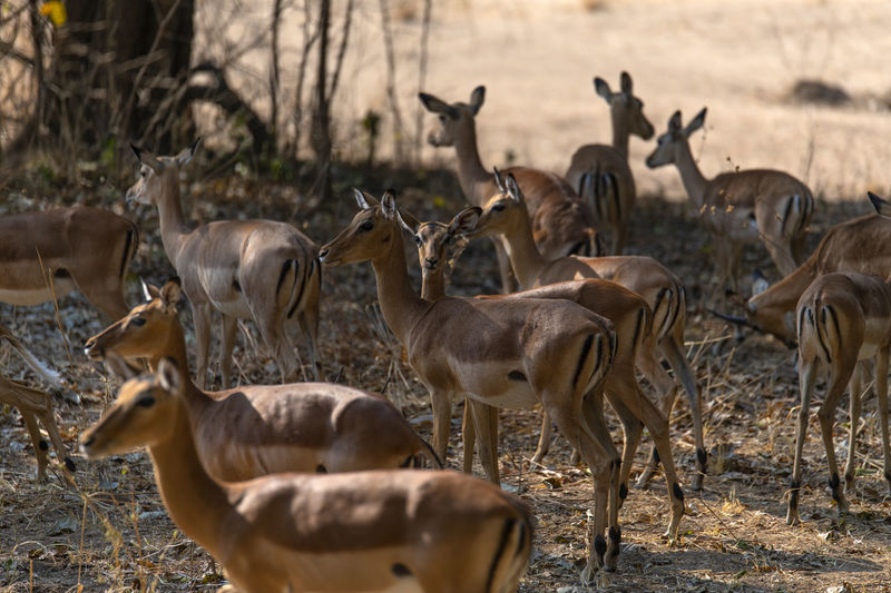 Flock of impalas in a field