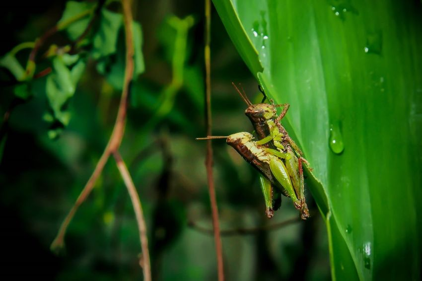 Animal Themes Insect Animals In The Wild One Animal Green Color Leaf Animal Wildlife Nature No People Close-up Focus On Foreground Plant Outdoors Growth Grasshopper