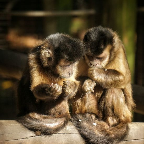 Monkeys sitting on wood at hamilton zoo