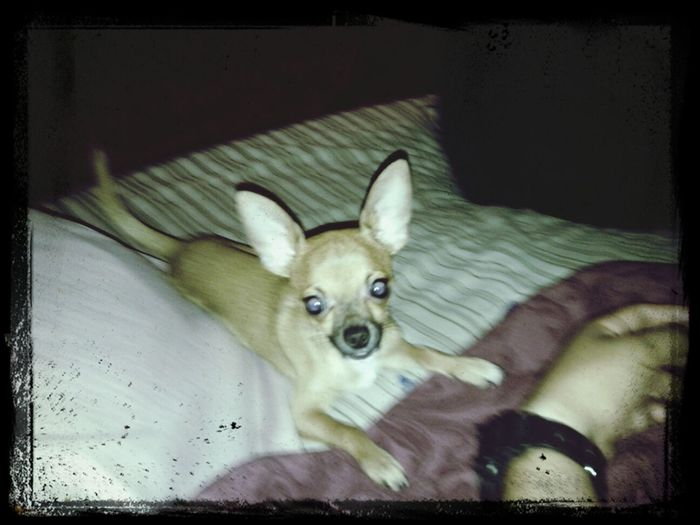 Chiuahuas That's My Dog Cute Dog  name Pikachu