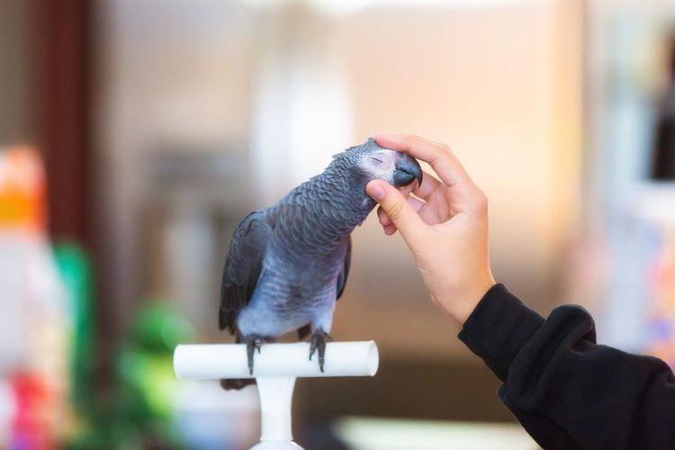 Human Hand Animal Themes Bird One Animal Focus On Foreground Perching Pets African Grey Parrot Timneh African Grey Parrot Irresistible Hard To Resist Head Rub