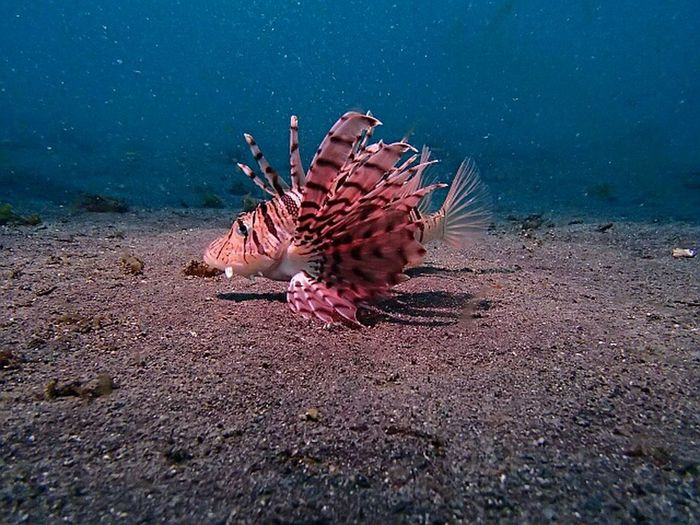 Lion fish 伊豆 富戸 ミノカサゴ NoEditNoFilter Olympus TG-1 18mdeep Diving Underwater Photography Lionfish