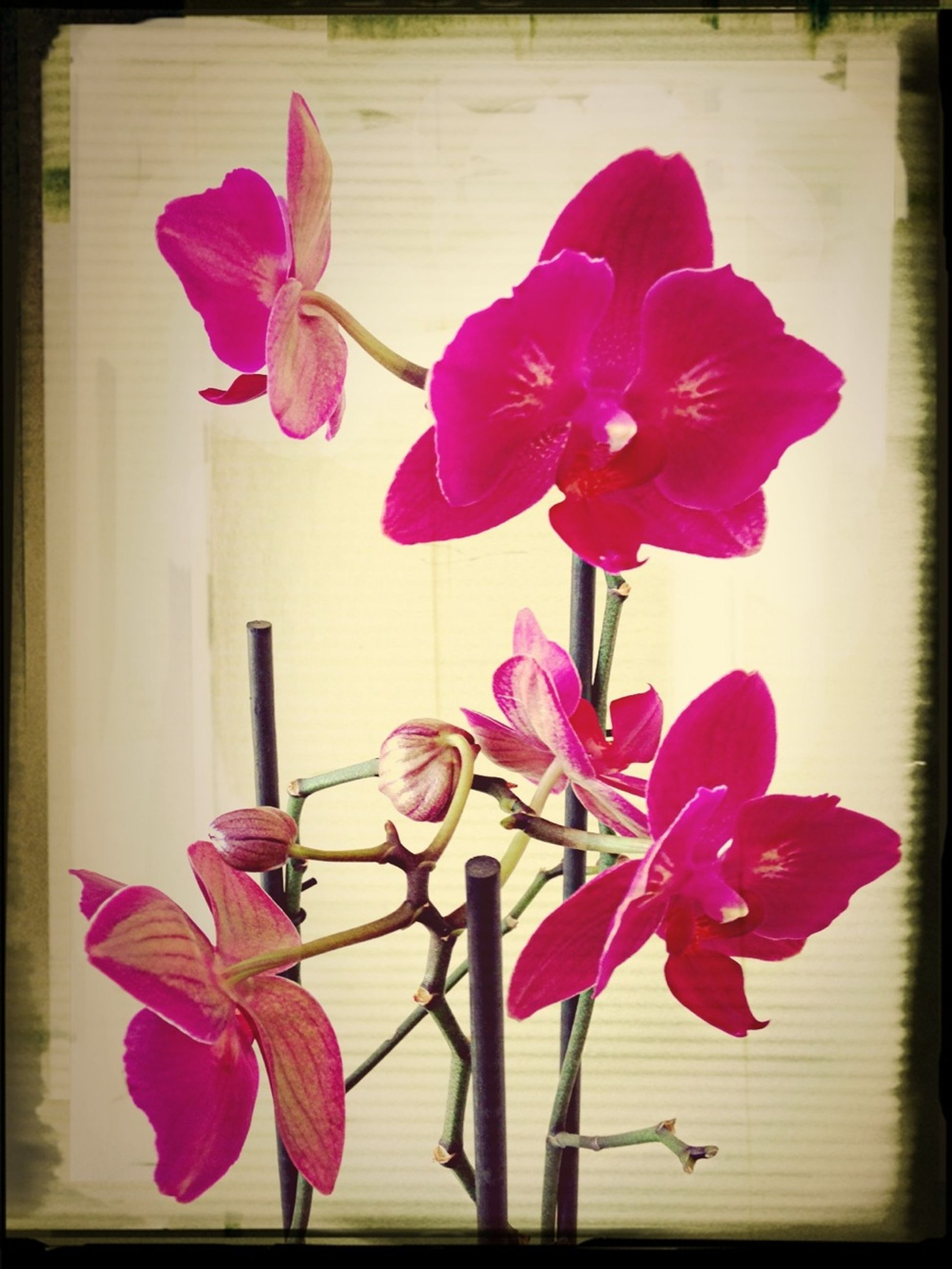 flower, petal, freshness, fragility, flower head, beauty in nature, pink color, growth, stem, nature, blooming, close-up, transfer print, plant, blossom, auto post production filter, indoors, in bloom, orchid, no people