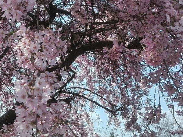 Millennial Pink Flowers Flowers,Plants & Garden Spring Time Spring Brianza Nature Tree Beauty In Nature